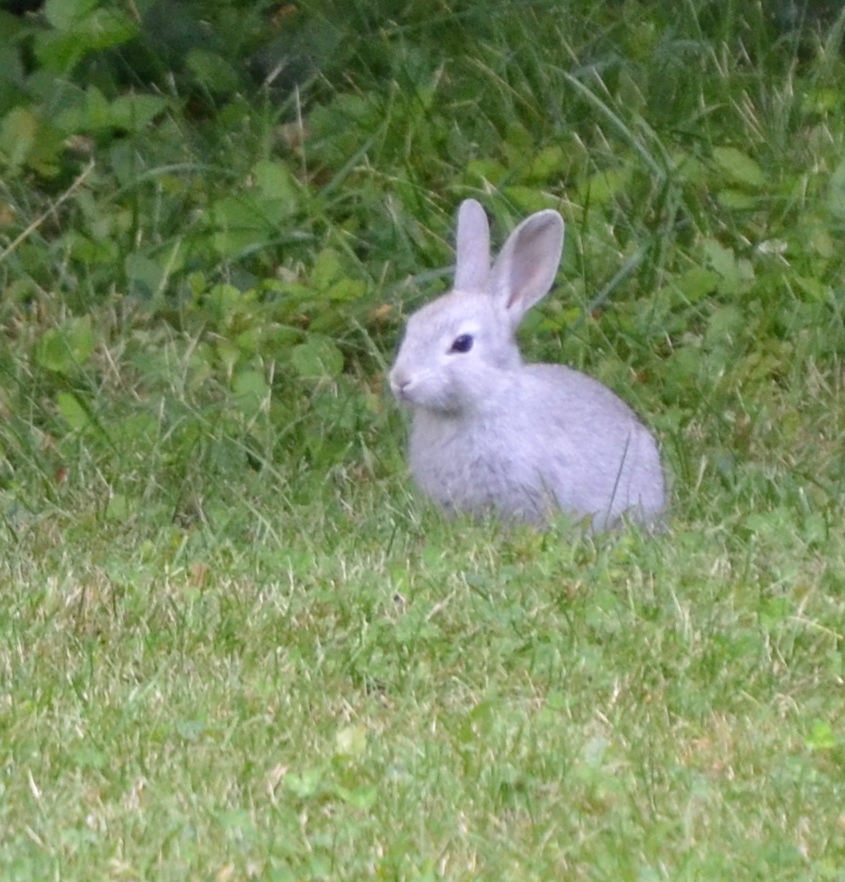 Le lapin sauvage