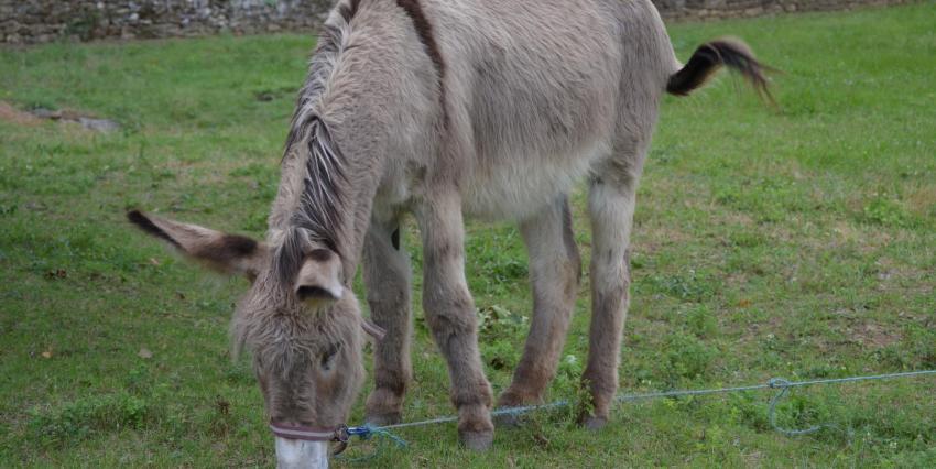 Ugolin l'âne de Provence